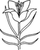 Рисуем лилию ребенку - шаг 3