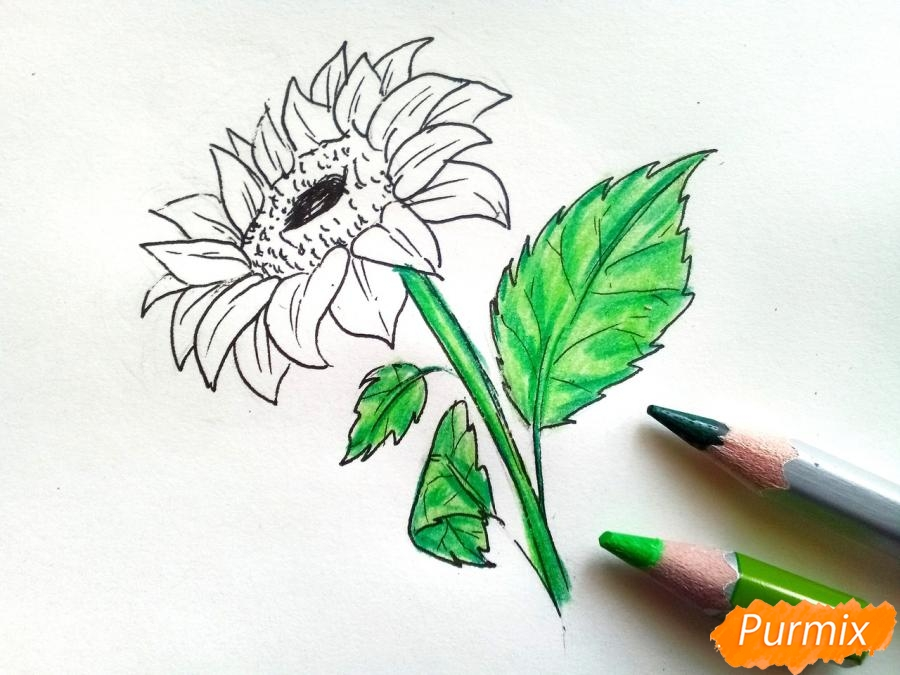 Рисуем подсолнух цветными карандашами - фото 6