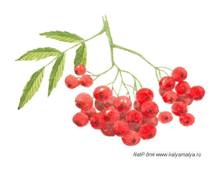 Рисунок ягод рябины