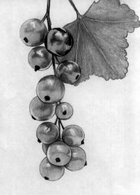 гроздь смородины карандашом