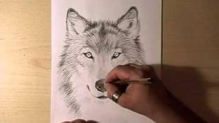 Как нарисовать голову волка видео урок