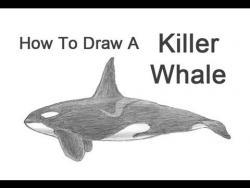 Видео урок: как нарисовать Косатку карандашом