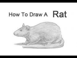Видео урок: как нарисовать Крысу карандашом