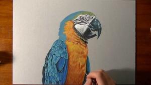Как нарисовать реалистичного попугая видео