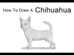 Видео урок: как нарисовать собаку чихуахуа карандашом