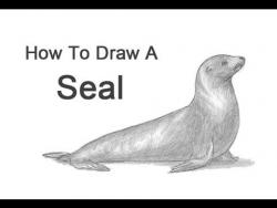 Видео урок: как нарисовать тюленя простым карандашом