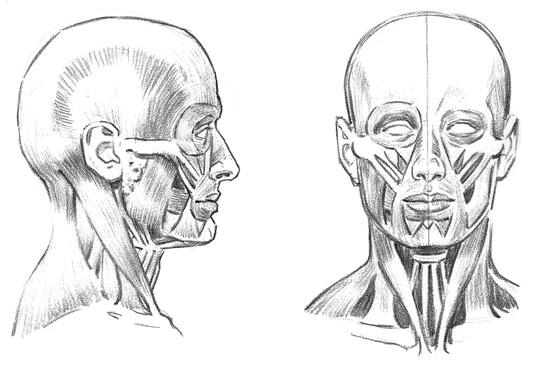 Как рисовать мышцы головы и лица - шаг 1