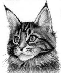 Фото кошку породы Мейн-кун карандашом