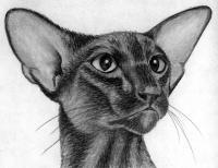 ориентальную кошку карандашом