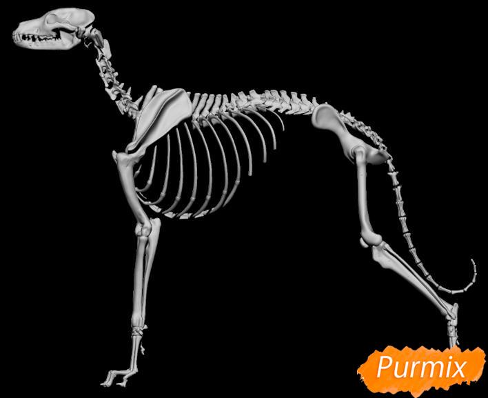 Лекция: общие основы анатомии хищных млекопитающих - шаг 1
