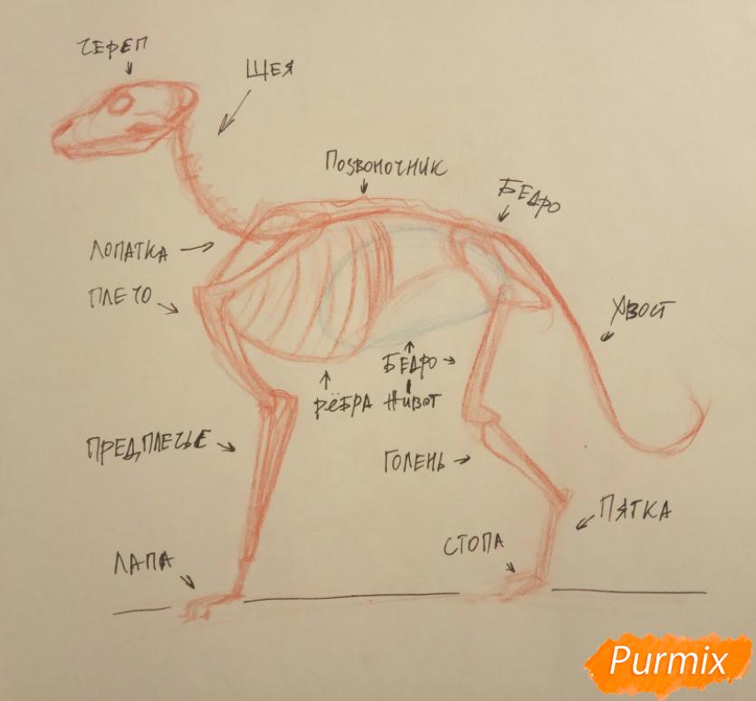 Лекция: общие основы анатомии хищных млекопитающих - шаг 3