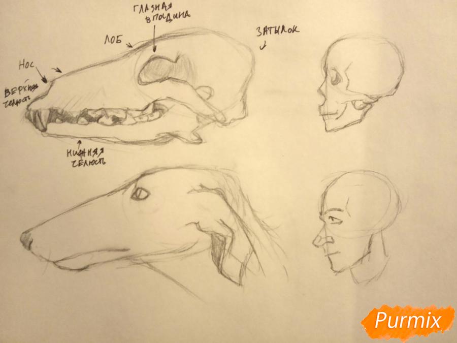 Лекция: общие основы анатомии хищных млекопитающих - шаг 4