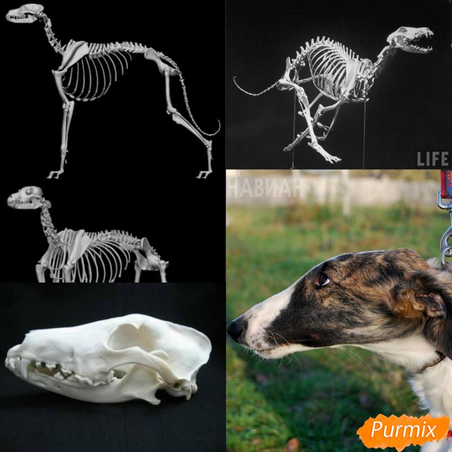 Лекция: общие основы анатомии хищных млекопитающих - шаг 5