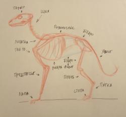 Как рисовать анатомии хищных млекопитающих