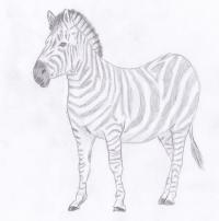 зебру карандашом
