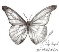 бабочку Morpho Anaxibia карандашом
