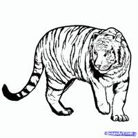 Фото бенгальского Тигра карандашом