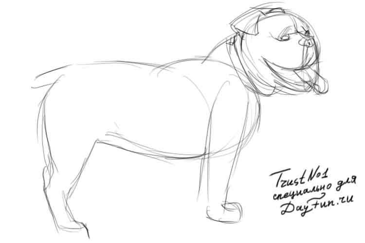 Рисуем собаку бульдога - шаг 3