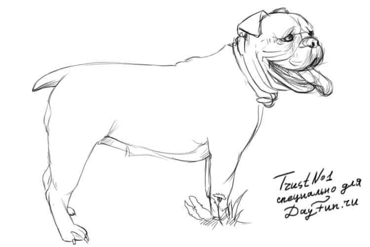 Рисуем собаку бульдога - шаг 4