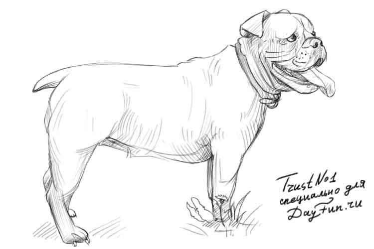 Рисуем собаку бульдога - шаг 5