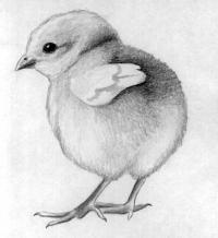 Фото цыплёнка карандашами