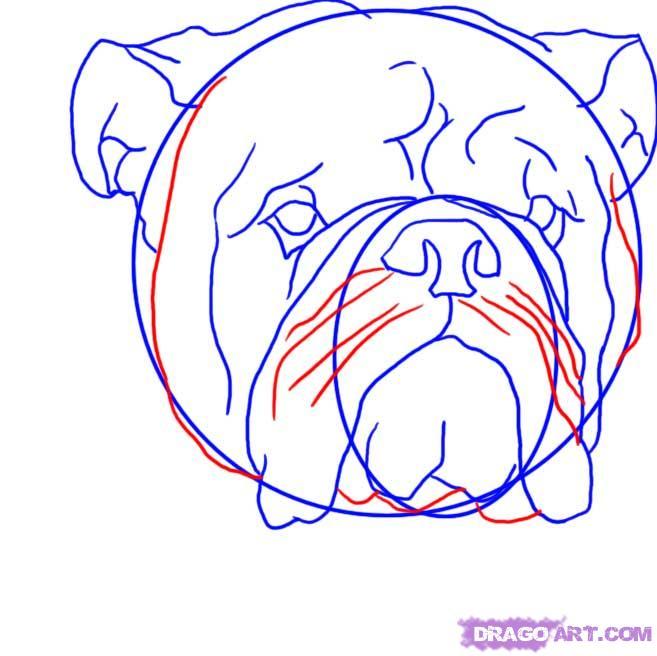 Рисуем голову Бульдога  для начинающих - шаг 6