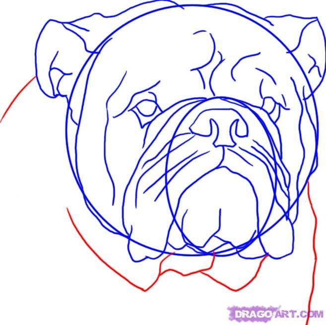 Рисуем голову Бульдога  для начинающих - шаг 7