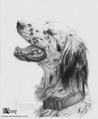 карандашом собаку породы Английский сеттер