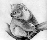коалу карандашом