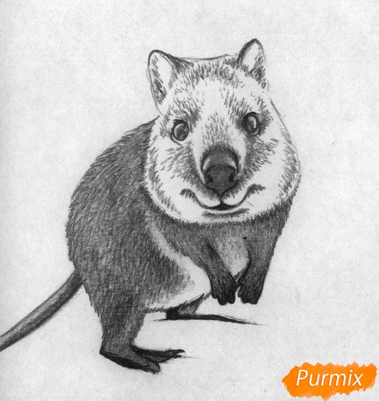 Рисуем квокка простыми карандашами и чёрной ручкой - шаг 3
