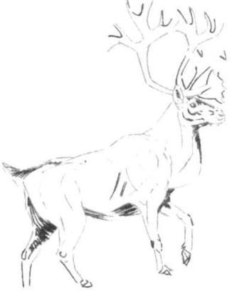 Рисуем лесного канадского оленя - шаг 6