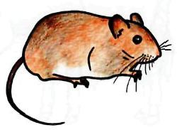 Рисуем полевую мышь - шаг 5