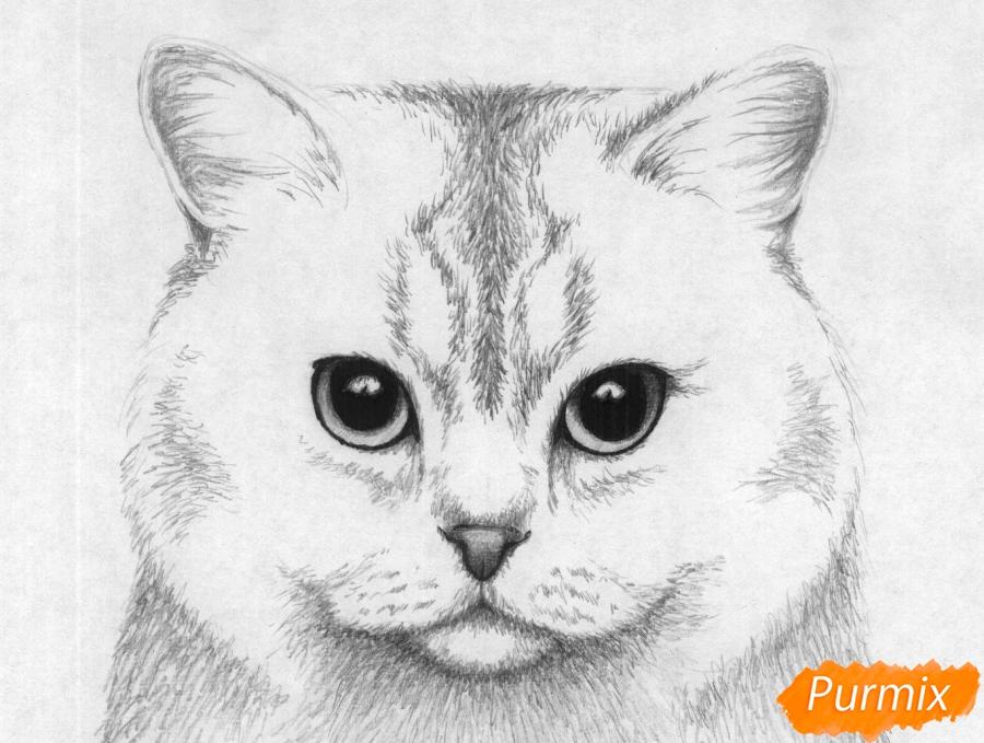 Рисуем портрет британской короткошерстной кошки карандашами - шаг 4