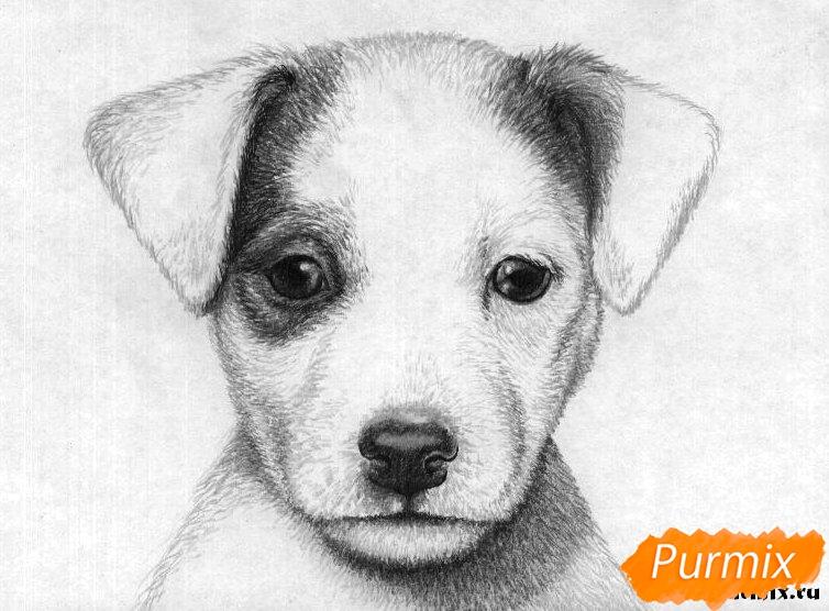 Рисуем портрет щенка джек-рассел-терьера - шаг 4