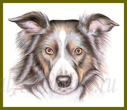 Картинки собака колли