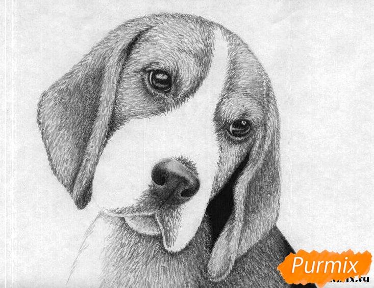 Рисуем собаку породы бигль  и ручкой - шаг 4