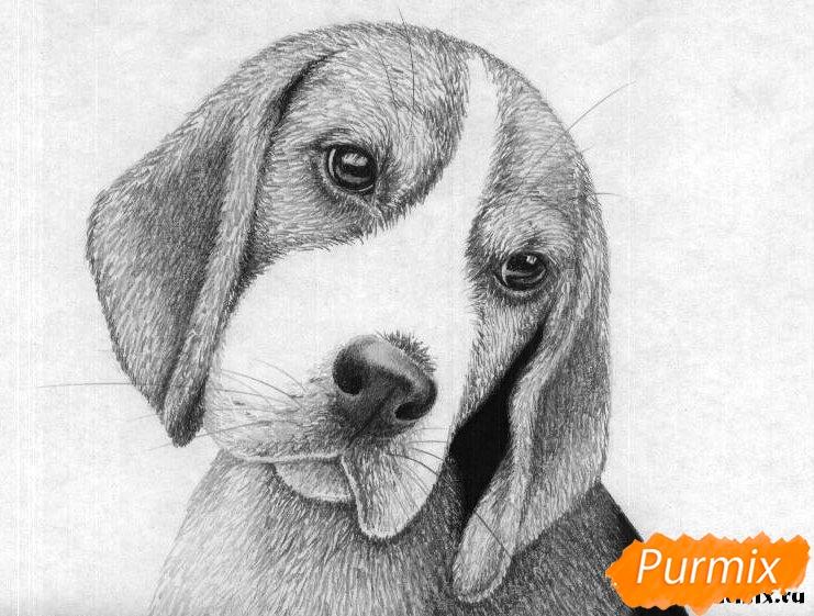 Рисуем собаку породы бигль  и ручкой - шаг 5
