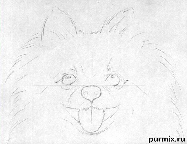 Рисуем собаку породы померанский шпиц - шаг 1
