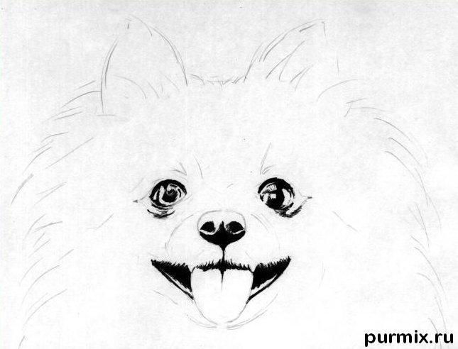 Рисуем собаку породы померанский шпиц - шаг 2