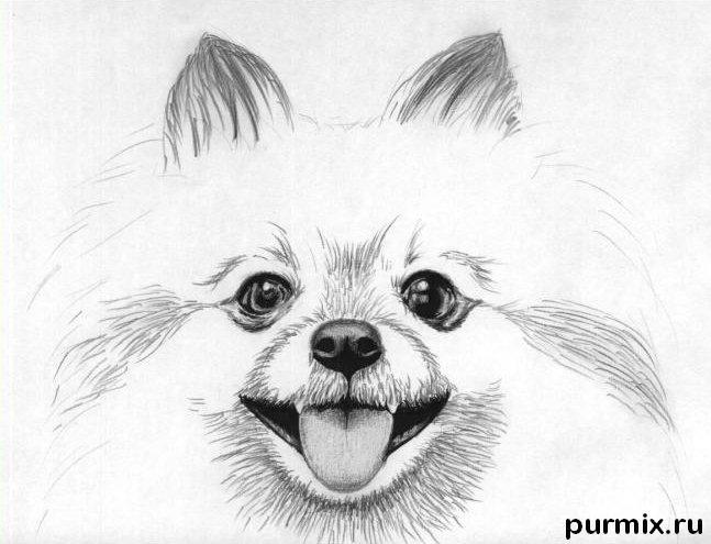 Рисуем собаку породы померанский шпиц - шаг 4