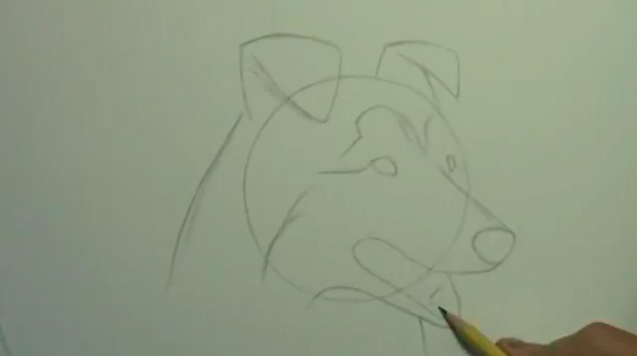 Рисуем собаку породы Шелти - шаг 3