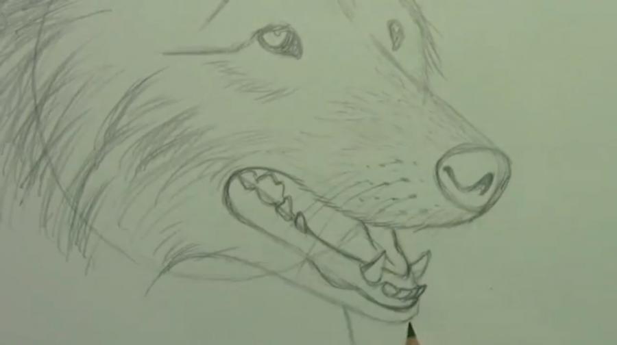 Рисуем собаку породы Шелти - шаг 5