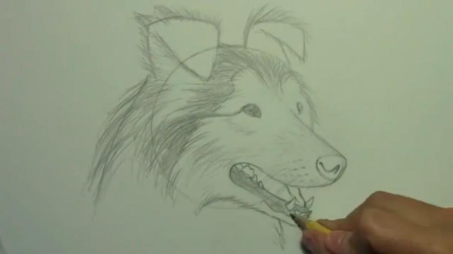 Рисуем собаку породы Шелти - шаг 6