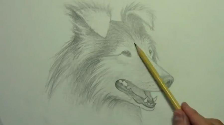 Рисуем собаку породы Шелти - шаг 7