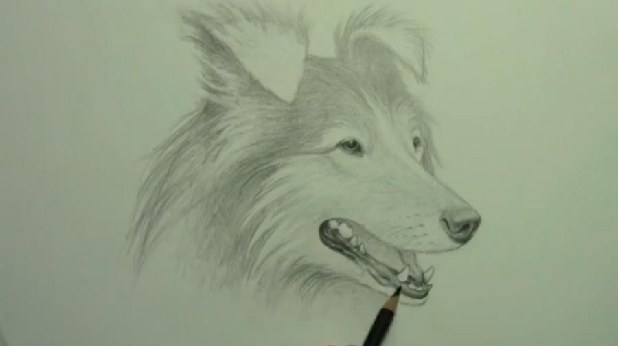 Рисуем собаку породы Шелти - шаг 8
