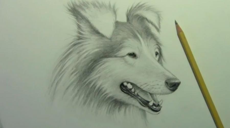 Рисуем собаку породы Шелти - шаг 9