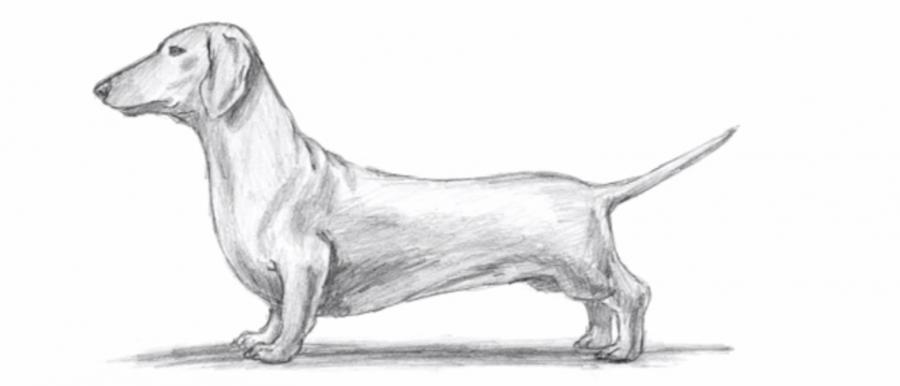 Рисуем собаку таксу карандашами - шаг 6