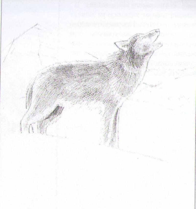 Рисуем воющего волка - шаг 4