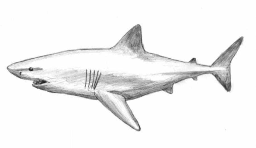 Учимся рисовать акулу - шаг 7