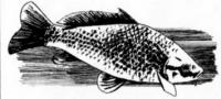 Как рисовать рыбу сазан карандашом